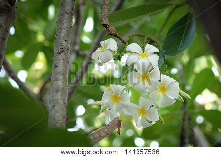 Plumeria or frangipani white blossoming on trees.