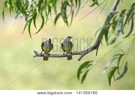 Yellow-vented bulbul birds perching on tree branch with blurred forest background, Thailand (Pycnonotus goiavier)