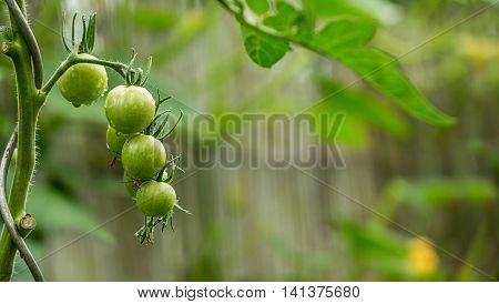 Green tomatoes on the bush with raindrops on blured background.. Agriculture concept. The concept of a diet program. Detoxification concept