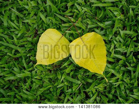 Bodhi leaf is buddhism spiritual symbol on green grass background