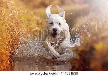 A young Labrador Retriever Dog is running through a river with a pretty face in autumn