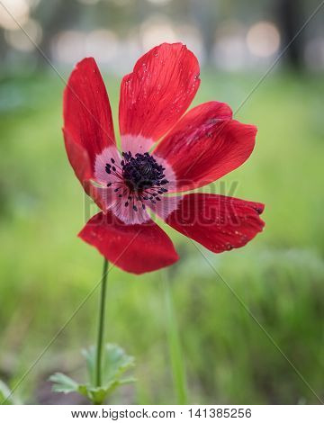 Red sunset...  Beautiful Anemone, photographed during the early spring at Megiddo, Armageddon district, Israel.