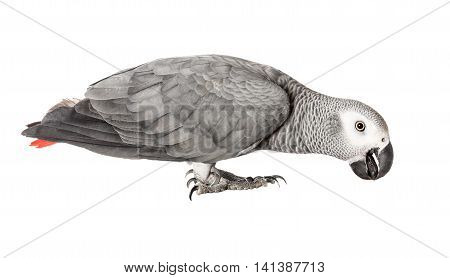 Beautiful parrot Jaco on a white background