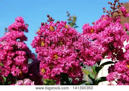 Branches of a  luxuriantly blossoming pink Lagerstroemia indica