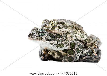 Pairing of two green toads isolated on white background