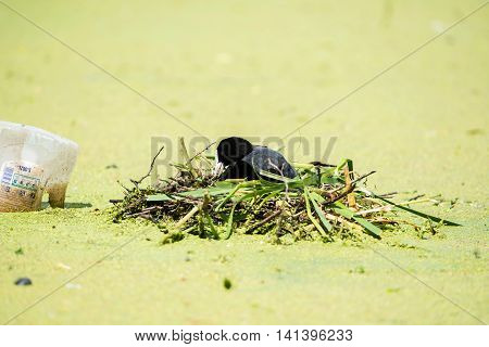 Common Coot (fulica Atra) Adult, Nest Building, Arranging Nesting Material, Leiden, The Netherlands,