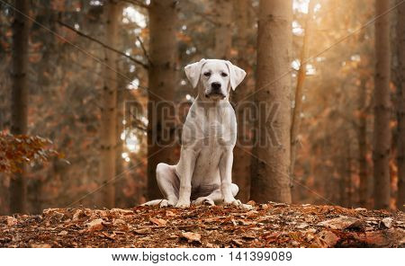 White Labrador dog sitting in the forest in an autumn walk - puppy love