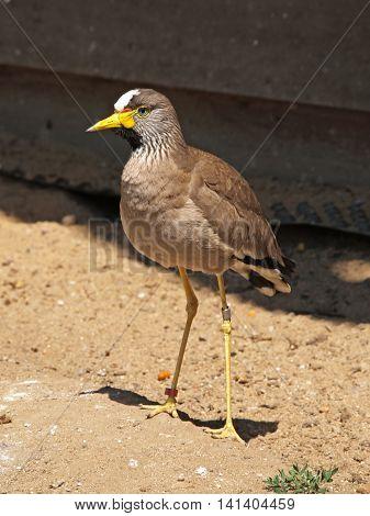 Portrait of lapwing bird - Vanellus vanellus