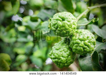 Colse up bergamot on tree in the garden