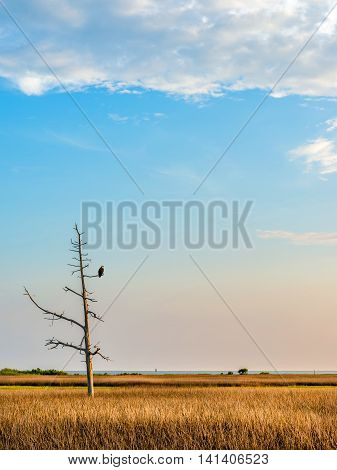 Bald Eagle in a dead tree watching over a wheat field and the Chesapeake Bay in Maryland