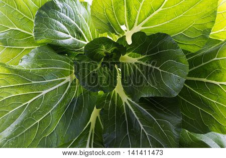 Bok choy or pak choi (Brassica chinensis) is a type of Chinese cabbage with smooth dark green leaf blades forming a cluster