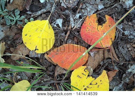 Multi color yellow and orange aspen leaves closeup