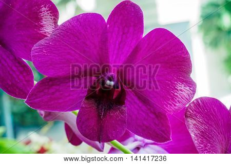 Close view of a vibrant violet orchid of the Orchidaceae Family on the Phylogenetic tree.