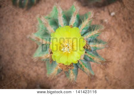 Cactus flower arises on a cactus and bloom beautifully.