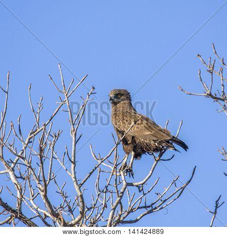 eaglet bateleur bird on a branch in background, Kruger South Africa