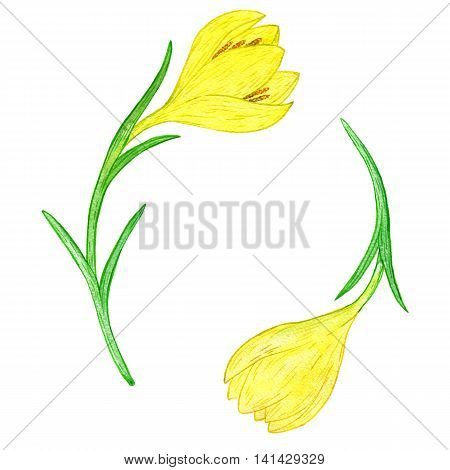 watercoolor drawing yellow crocuses isolated at white background, painting flowers, hand drawn illustration