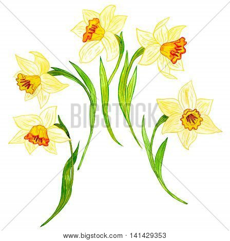 watercoolor drawing narcissus isolated at white background, painting flowers, yellow daffodils, hand drawn illustration