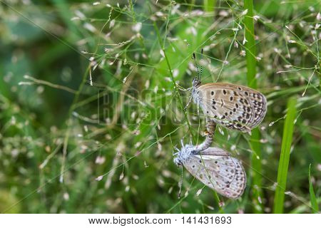 The mating little butterflies on grass flowers