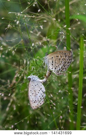 The mating butterflies on grass flowers on nature background