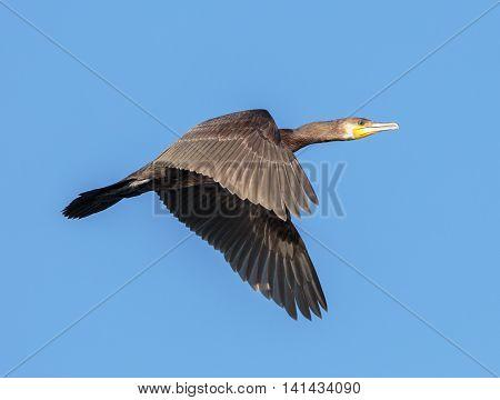 Great Cormorant In Flight