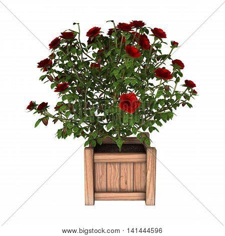 3D Rendering Red Rose Bush On White