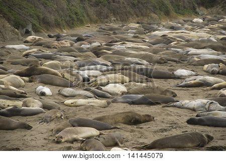 Piedras Blancas - elephant seal rookery - crowded beach, California