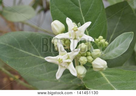 Close Up White Crown Flower, Blooming Calotropis gigantea or Crown flower with leaves