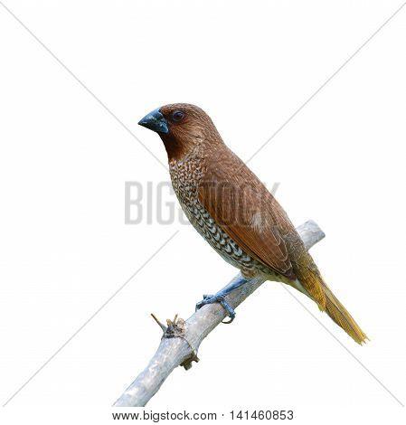Scaly-breasted Munia Bird