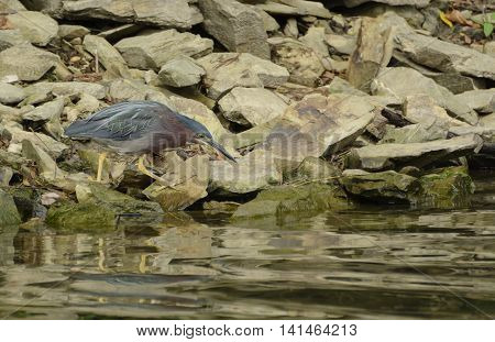 A Green Heron (Butorides virescens) carefully searching for food along a shoreline in York County Pennsylvania, USA.