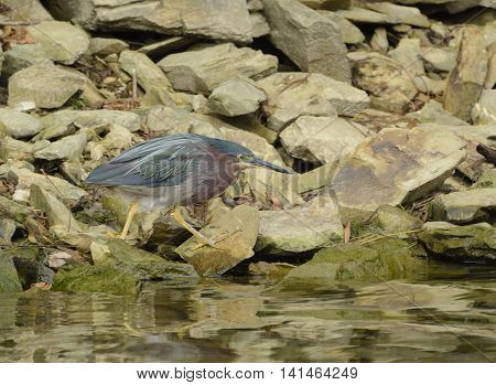 A Green Heron patrolling a rocky lakeshore on its search for food.