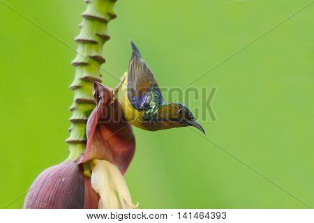 Brown-throated Sunbird, Beautiful Bird Perching On Banana Flowers As Background