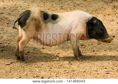 young muddy piglet sleep standing up on farm