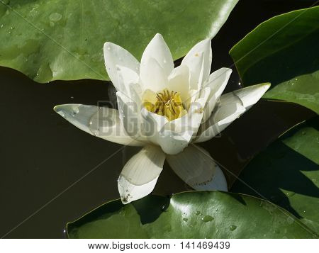 White Water Lily Or Nymphea