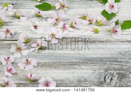 Background from Marsh mallow lat. Althaea officinalis wooden board is decorated from marsh mallow flower heads