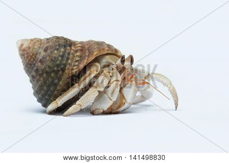 Hermit Crab crawling, isolated on a white background