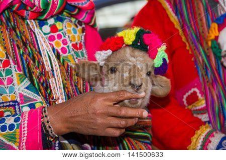 Baby Lamb In Peru