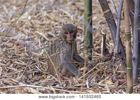 Baby Rhesus Monkey in the Forest in Bandhavgarh National Park in India