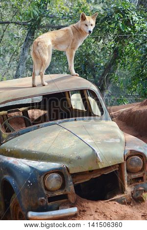 BRISBANE AUSTRALIA - AUGUST 01 : DINGO on a Car - August 1, 2016.