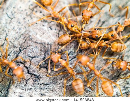 Red Ants In Asia