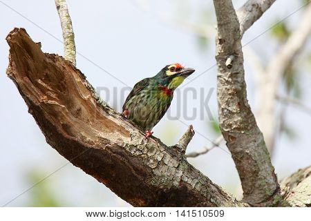 Coppersmith Barbet Bird on branch Green bird