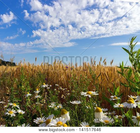 Wheat And Field Of Camomiles
