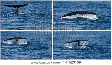 humpback whale fluking tail in the water sea animals set sea creatures collection
