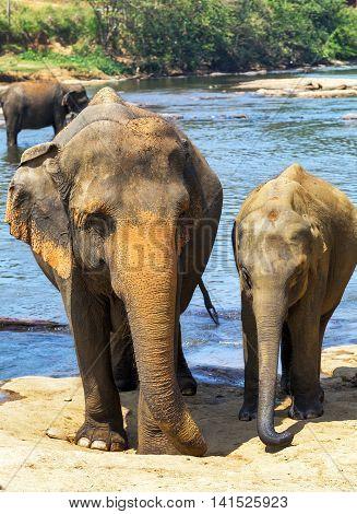 Family Indian Elephants Bath In River Ceylon, Pinnawala