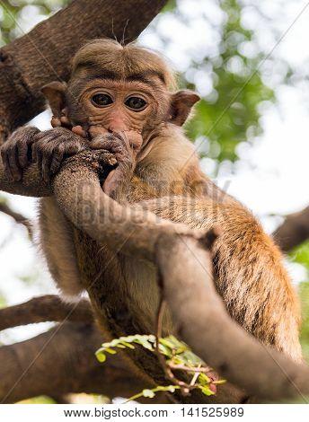 Monkey On The Tree, Safaris Sri Lanka