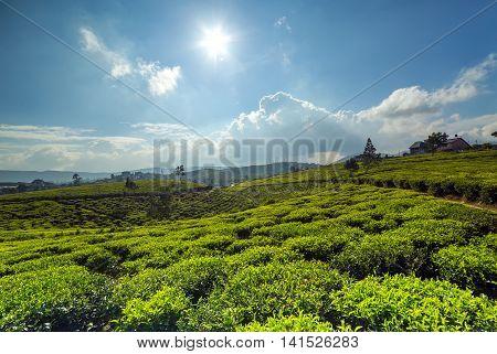 Sunlight On Green Tea Leaf Green Fields
