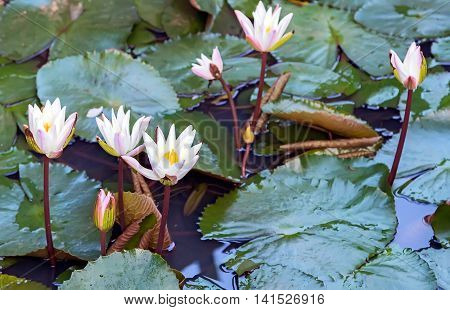 White Lilly On Lake, Lotus Water Plant In A Pond