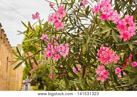 beautiful delicate pink flowers on a tree in the park