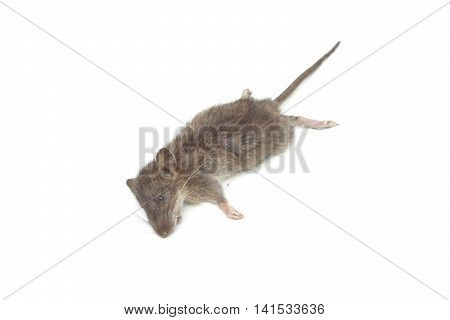 a dead mouse isolated on white background
