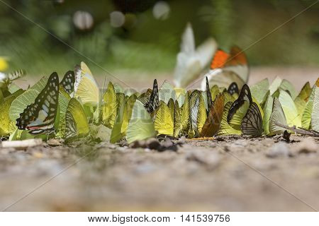 butterflies flock sucking food on wet floor. Movement of Butterfly