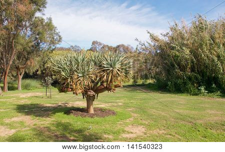 Unique spiky tropical tree in manicured lawn bordered by the lush Careniup Wetlands flora under a blue sky with clouds in Gwelup, Western Australia.